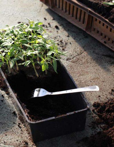 Plants de tomates à repiquer