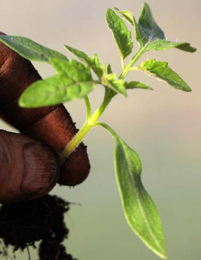 Repiquage du plant de tomate